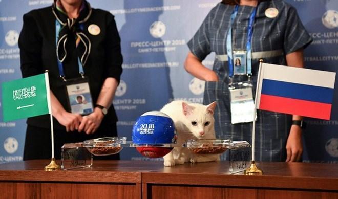 """Chú mèo trắng Achilles sống tại Bảo tàng Hermitage ở thành phố St. Petersburg (Nga) đã lựa chọn """"Gấu Nga"""". (Nguồn: Reuters)"""