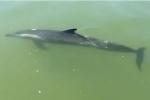 Người dân Hội An cứu cá heo đi lạc vào sông