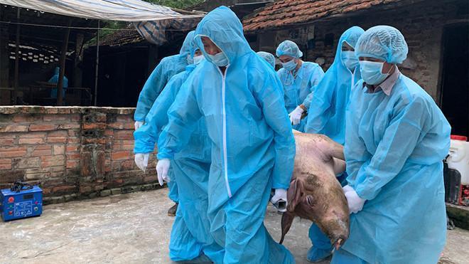 Cán bộ thú y xử lý dịch tả lợn châu Phi.