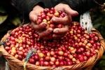 Giá cả thị trường nông sản hôm nay 5/7: Giá cà phê tăng 400 đồng, giá tiêu không đổi
