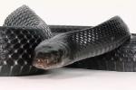 Video: Rắn hổ mang chúa kịch độc cũng phải khiếp sợ loài rắn này