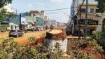 Gia Lai: Cây xanh cổ thụ bị cưa hạ, nhiềungười xót xa