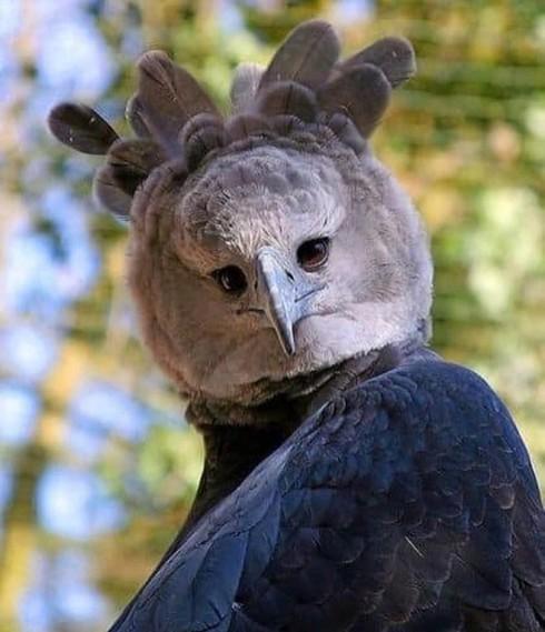 Đại bàng Harpy thoạt nhìn giống như một người đang mặc trang phục hóa trang.