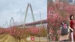 Hoa đào nở rộ dưới chân cầu Nhật Tân: Lãng mạn như trong phim