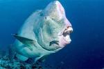Loài cá sở hữu răng giống con người, có thể cắn xuyên đá