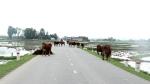 Hà Tĩnh: Tái diễn tình trạng chăn thả gia súc trên quốc lộ