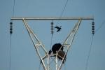 Trèo lên cột điện, gấu đen chén sạch tổ quạ