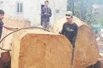 Khai thác gỗ Du Sam trái phép