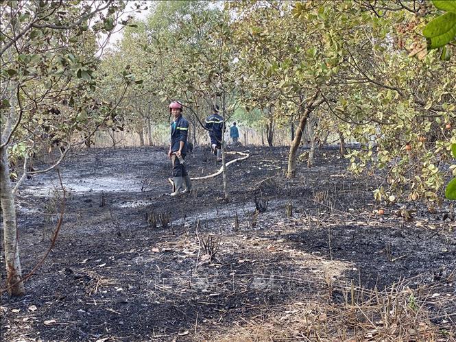 Vụ cháy làm thiệt hại nặng nề vườn điều đang cho thu hoạch.