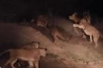 5 con sư tử 'đánh hội đồng' hà mã bị thương nhưng vẫn nhận thất bại thảm hại