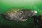Video: Cận cảnh con cá mập 512 tuổi cực khỏe mạnh