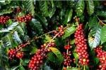 Giá cà phê hôm nay 26/3: Dấu hiệu tích cực