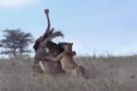 Video: Đà điểu đực trơ mắt nhìn kẻ thù hạ sát bạn tình