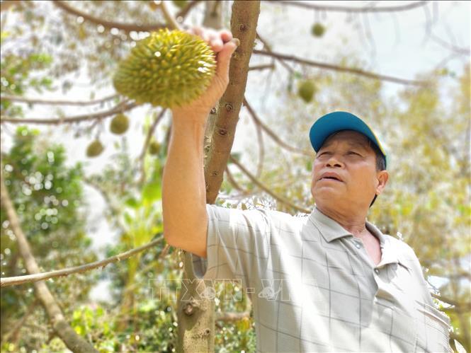 Chất lượng trái sầu riêng cũng như giá cả xuống thấp, nên ông Nguyễn Văn Tuân, xã Tân Phú phải hái bỏ trái để cứu cây. Ảnh: Trần Thị Thu Hiền/TTXVN.