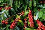 Giá cà phê hôm nay 5/6: Cập nhật giá cà phê Tây Nguyên, miền Nam