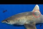 Bằng chứng về cuộc chiến hiếm hoi giữa mực khổng lồ và cá mập đại dương