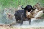 Trâu một mình đánh bại đàn sư tử