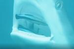 Đàn cá lao thẳng vào miệng cá mập để 'đánh răng'