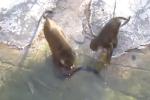 Cảnh hiếm thấy trong sở thú ở New York: Khỉ đùa dai, bị bầy rái cá dìm chết dưới nước