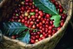 Giá cà phê hôm nay 5/7: Cập nhật giá cà phê Tây Nguyên, miền Nam
