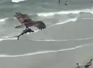 Chim ưng biển to lớn dùng móng vuốt sắc nhọn quặp chặt con cá bay trên bầu trời.