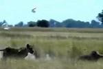 Clip: Bị sư tử mai phục, lợn bướu phi hết tốc lực chạy trốn và cái kết khó tin