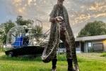Bang Florida bắt được 5.000 con trăn Miến Điện sau 3 năm