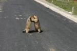 Clip: Cặp sóc đất bụ bẫm lao vào ẩu đả như võ sĩ ngay giữa đường