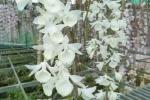 Băng lừa đảo bán hoa lan đột biến gen sa lưới