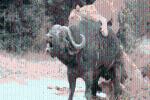 Bị bầy sư tử khoét 1 lỗ trên lưng, cắn đứt đuôi: Trâu rừng có sống sót để chứng kiến 'phép màu' phút cuối?