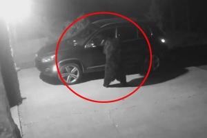 Gấu chui vào xe hơi ngồi chơi lúc nửa đêm