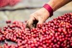 Giá cà phê hôm nay 2/11: Giá Robusta tăng mạnh, thị trường tuần qua thêm gần 1.000 đồng/kg