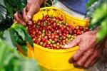 Giá cà phê hôm nay 18/11: Thế giới diễn biến trái chiều, trong nước giữ mốc 34 triệu đồng/tấn trước vụ mới