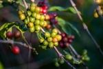 Giá cà phê hôm nay 22/11: 2 nguyên nhân giúp giá cà phê lạc quan trong vụ thu hoạch mới