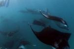 Thợ lặn 'lạc' giữa đàn cá đuối khổng lồ