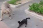 Clip: Mèo mẹ sút tung mặt chó dữ để giải cứu mèo con