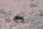 Clip: Voi châu Phi nổi cơn thịnh nộ, dùng ngà đâm chết trâu rừng