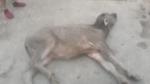 Điện Biên: 199 con gia súc chết do rét đậm, rét hại