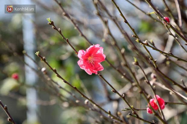 Một số cây đào đã bắt đầu nở hoa sớm.