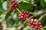 Giá cà phê hôm nay 9/2: Arabica tiếp tục tăng, thế giới ghi nhận thiếu hụt nguồn cung