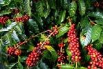 Giá cà phê hôm nay 18/2: Tiếp tục tăng, Robusta vượt mốc 1.370 USD/tấn