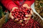 Giá cà phê hôm nay 5/5: Đồng loạt tăng, Robusta gần chạm mốc 1.500 USD/tấn