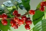 Giá cà phê hôm nay 7/5: Đồng loạt vượt 34.000 đồng/kg, thế giới tiếp tục tăng trong bối cảnh gián đoạn nguồn cung