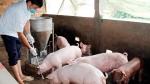 Giá lợn hơi ngày 27/7/2021: Cả 3 miền tăng 1.000 - 2.000 đồng/kg