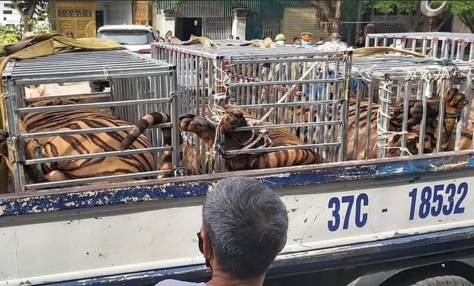Lực lượng chức năng thu giữ nhiều con hổ lớn.