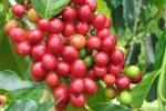 Giá cà phê hôm nay 15/9: Robusta tiếp tục tăng, trong nước áp sát mốc 40.000 đồng/kg