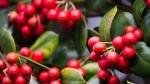 Giá cà phê hôm nay 24/10: 2 xu hướng khác biệt trong tuần, chi phí vận tải đẩy Robusta tăng liên tiếp