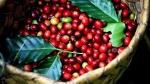 Giá cà phê hôm nay 25/10: Robusta rộng đường tăng theo chu kỳ mười năm, cà phê Việt hưởng lợi